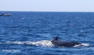Pygmy blue whale and vessel; Geographe Bay, Western Australia