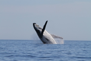 Humpback whale making some noise of its own (Photo: S. Marley)