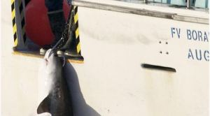 The survival rate of hooked undersized sharks is uncertain, with some sustaining large injuries