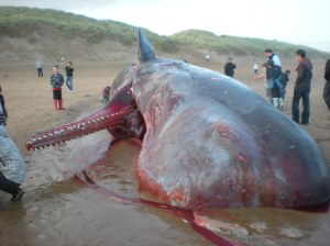 Dead sperm whale - winner of Aberdeen's Top Tourism Attraction 2009.