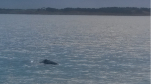 The head of the whale, photographed by Fay Page / Sea Watch Foundation